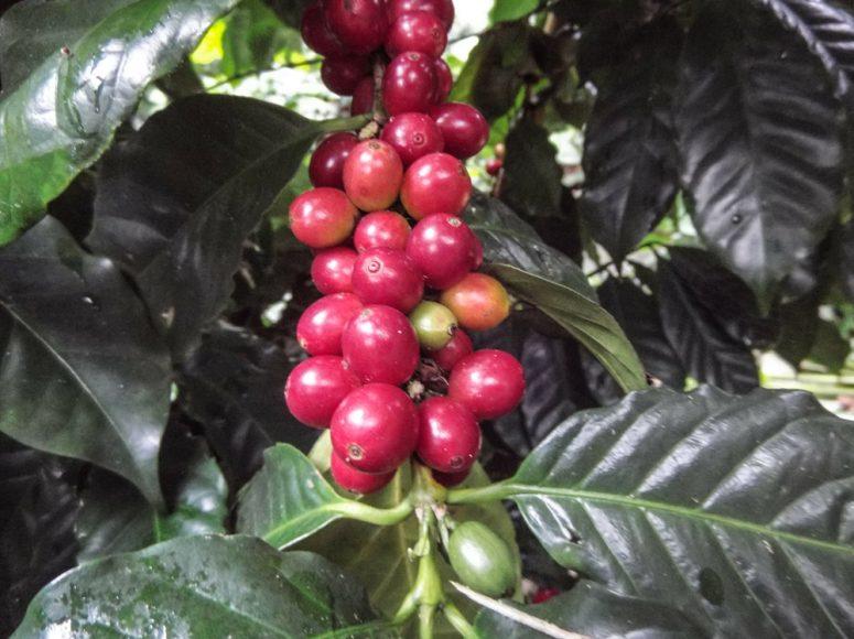 Quality Nicaraguan coffee beans.