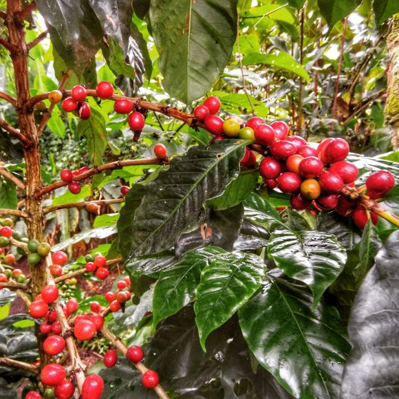 Arabica coffee beans, ready to harvest, near Jinotega, Nicaragua.